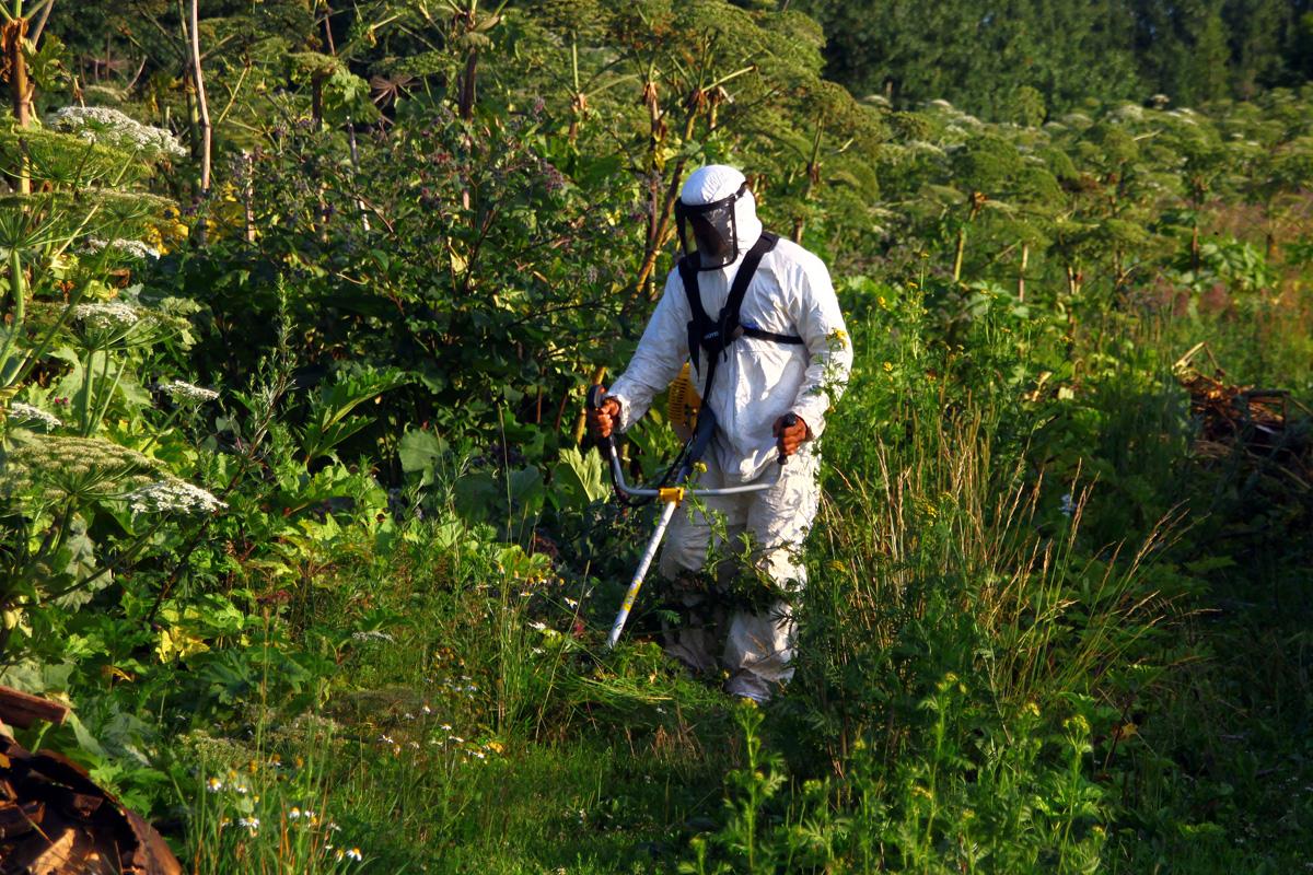 Уничтожение борщевика гербицидами.